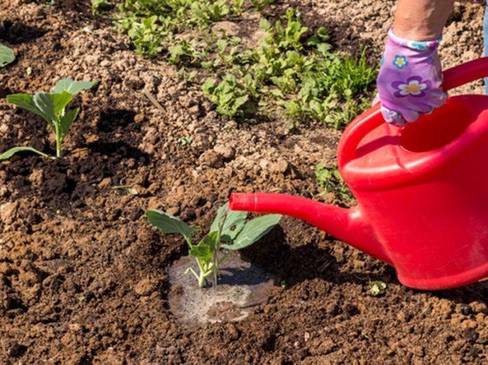 Полив и удобрение капусты сорта Атрия f1
