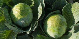 Капуста Атрия f1: описание сорта, плюсы и минусы, особенности выращивания, отзывы