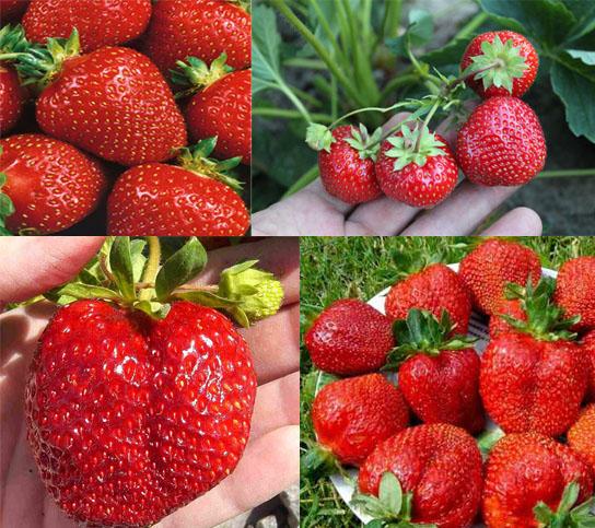 Самые урожайные крупноплодные сорта клубники раннего и среднего срока созревания