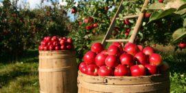Как сушить яблоки в электросушилке: особенности процесса и подбор техники, отбор яблок, нарезка, правила сушки, признаки готовности и условия хранения