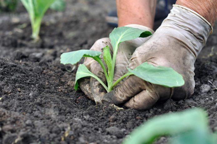 Посадка семян и выращивание рассады