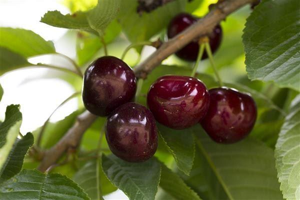 Вишня «чернокорка»: преимущества и недостатки сорта, его особенности, правила посадки и ухода, отзывы садоводов