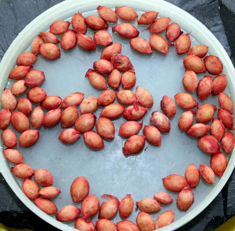Размножение вишни косточками
