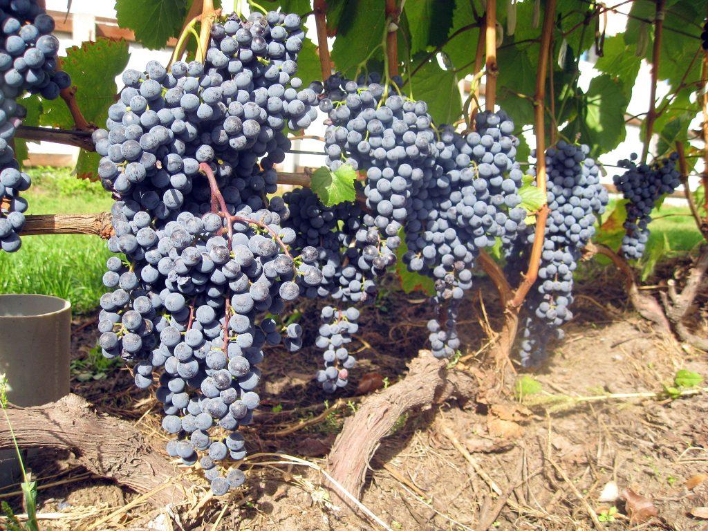 Виноград кишмиш уникальный: отличительные особенности сорта, правила выращивания и ухода, нюансы сбора и применения плодов