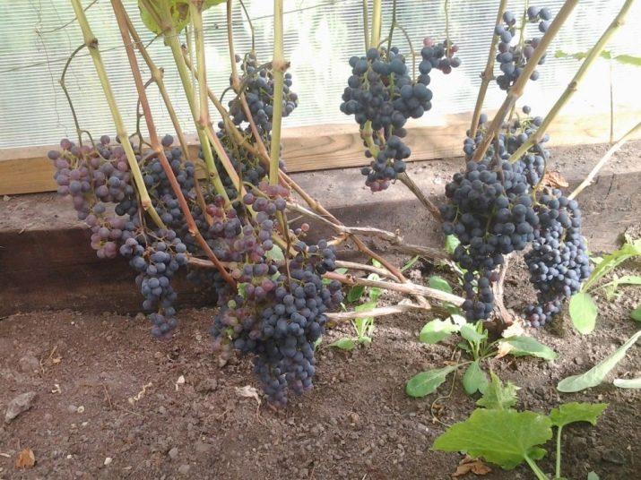 Посадка и уход за виноградом «уникальный»